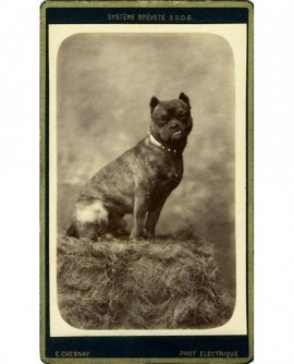 Chien (dogue) assis