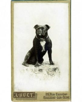 Chien (dogue) assis sur une table