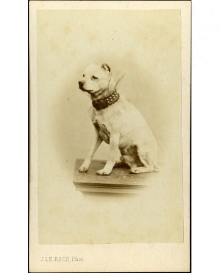 Chien mâle: fox-terrier avec collier