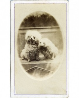 Photo de 2 caniches (chiens)