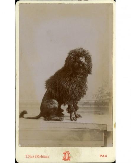 Un chien : caniche dressé sur ses pattes arrière